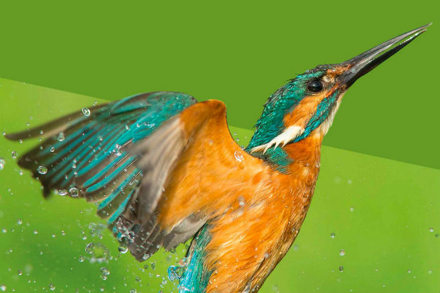 A kingfisher rising from a river, with water drops fallling from it